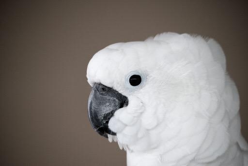 How do you do a Cockatoo?